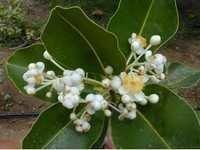 Calophyllum inophyllum