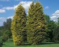 Cupressus Macrocarpa
