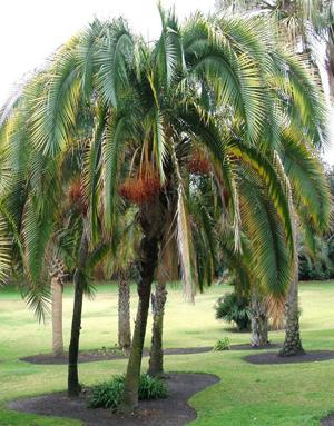 Palms & Cycad Seeds