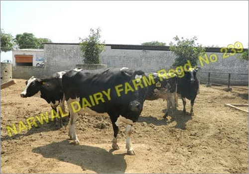 Supplier HF Cow