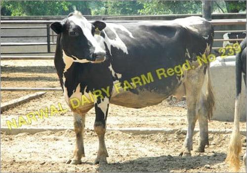 Holstein Friesian  Supplier