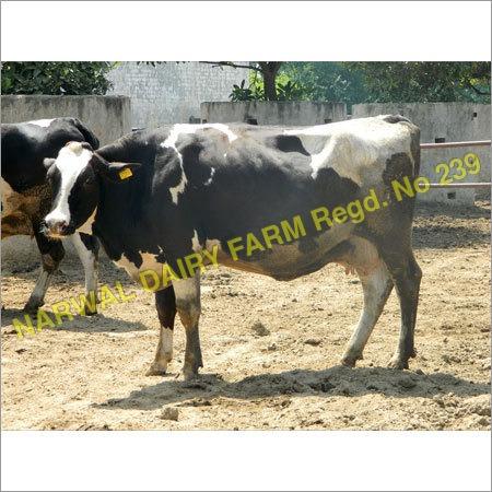 Holstein Heifers cow