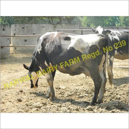 Hf Cattle