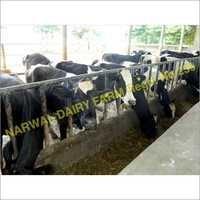 Heifer cow