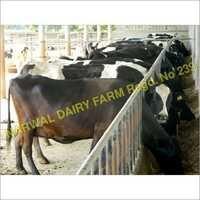 Cow supplier