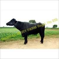 Murrah Bull Supplier,Exporter In Haryana, India