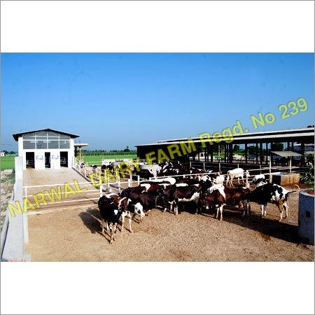 HF Livestock Cow