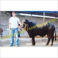 Indian Black Murrah Bull