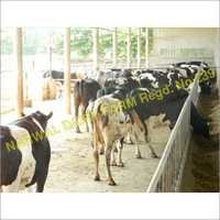 Holstein Friesian Cattle