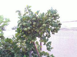 Seedless Thai Lemons