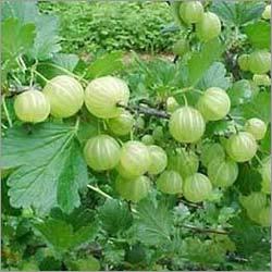 Organic Amla