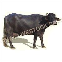 Murrah buffalo livestok