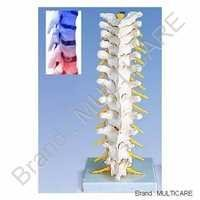 Human Thoracic Spinal Column