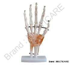 Hand Joint with Ligaments Life Size