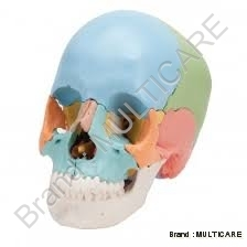 Adult skull ( Coloured ) Life Size