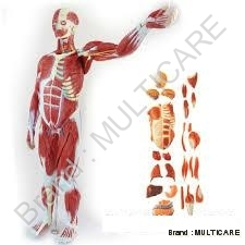 Male Muscle Figure ( Tall 78 cm)