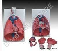 Larynx Heart And Lung Model
