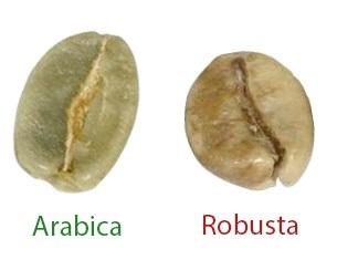 Indian Coffee Bean