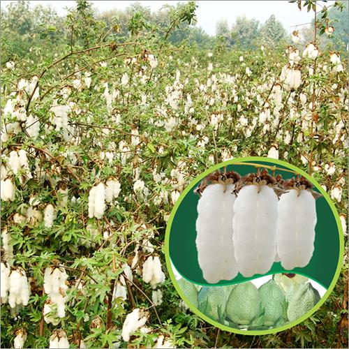Desi Cotton Seed