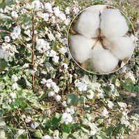 American Cotton Seed