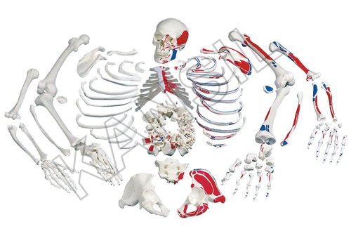 Disarticulated Painted Skeleton Model