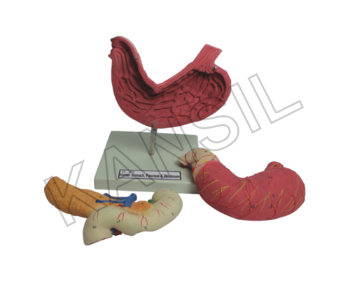 Human Stomach,Pancreas & Duodenum Model