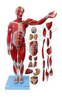 Male Muscle 78 cms Model
