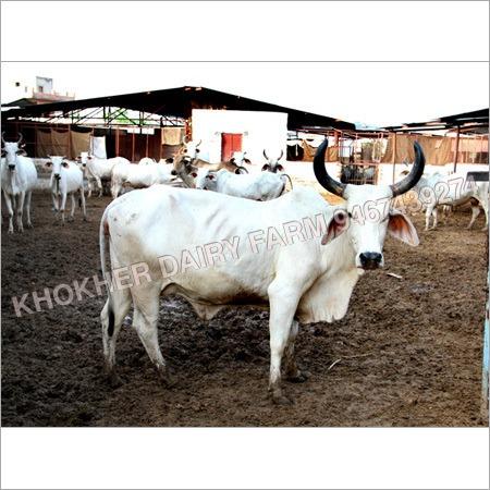 Haryana Sahiwal Cow