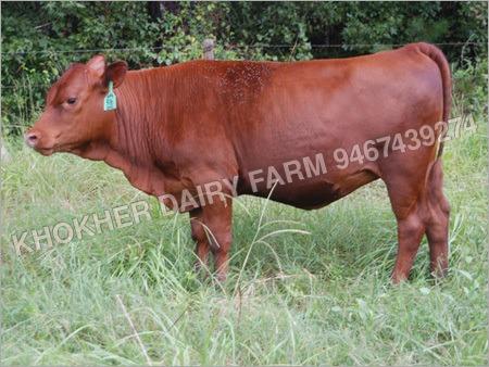Hiffer Cow
