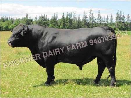 Heavy Hf Bull