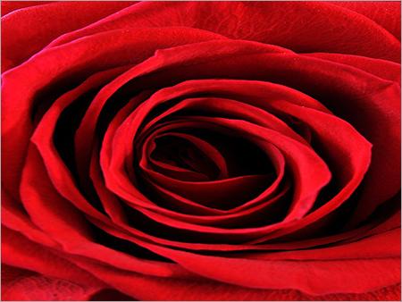Rose Agarbattis