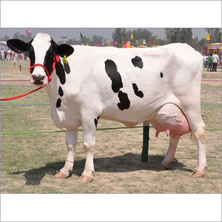 Black & White HF Cow