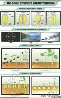 The Seed: Structure & Germination Chart