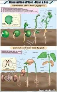 Germination Of Seed: Bean & Pea Chart