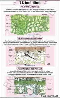 T.S.Leaf Dicot Chart