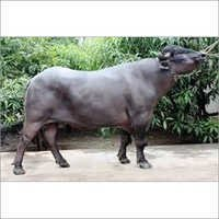 Black Murrah Buffalo