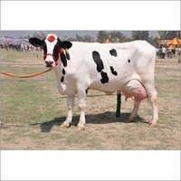 Indian Tharparkar Cattle
