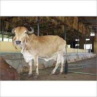 Original Gir Cow