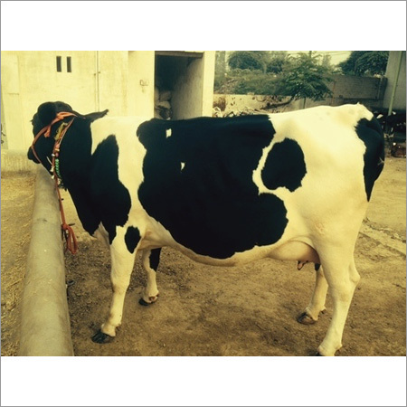 Karan Swiss Cattle