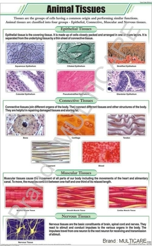 Animal Tissues Chart
