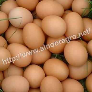 Pure Country Chicken Hatching Eggs