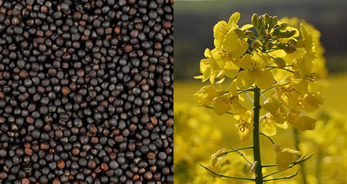 Rape Seed Specification