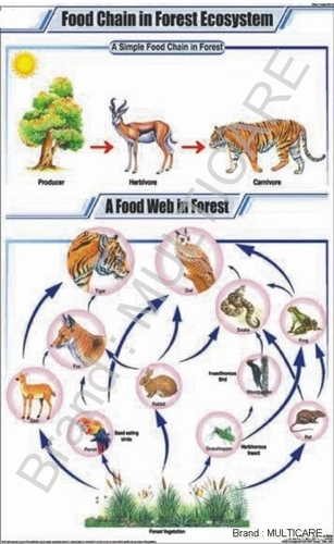 Food Chain In Forest Ecosystem Chart