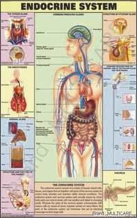 Endocrine System Chart