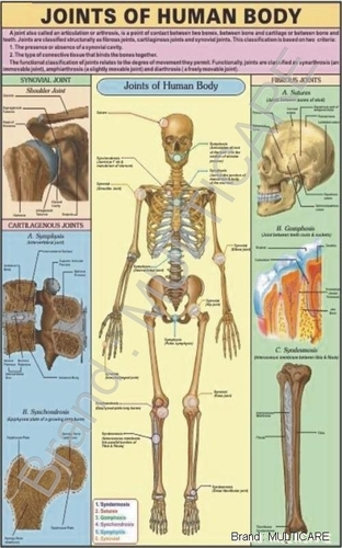 Joints of Human Body Chart - Joints of Human Body Chart Exporter ...