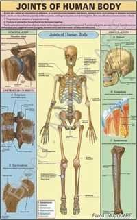 Joints of Human Body Chart