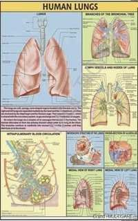Human Lungs Chart