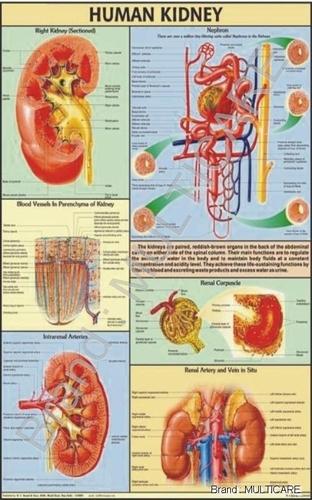 Human Kidney Chart