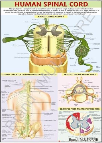 Human Spinal Cord Chart