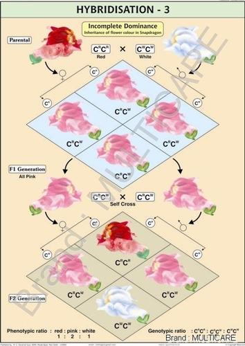 Hybridisation -3 (Incomplete Dominance) Chart